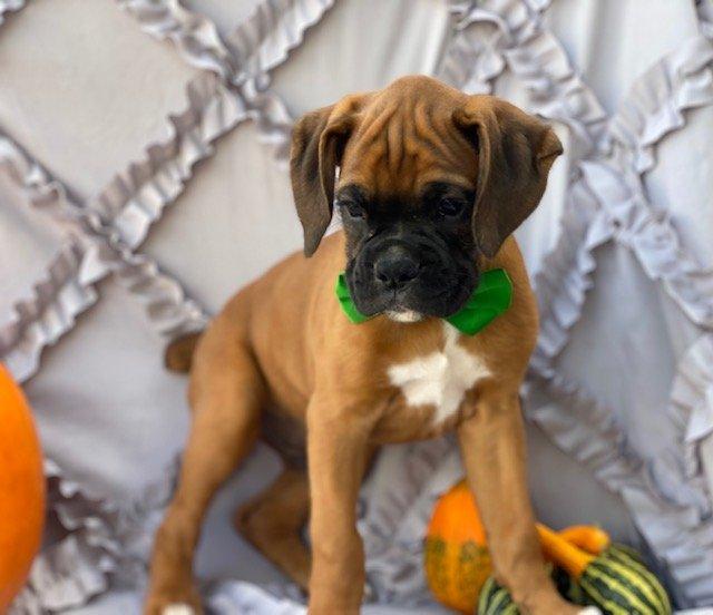 Cedric - puppy AKC boxer for sale near Narvon, Pennsylvania