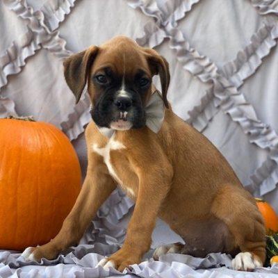 Baldwin - AKC boxer pupper for sale at Narvon, Pennsylvania