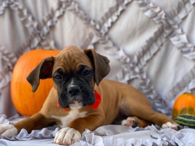 Prince - AKC boxer doggie for sale in Narvon, Pennsylvania