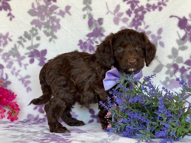 Mimi - female Springerdoodle puppy for sale near Peachbottom, Pennsylvania