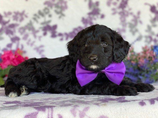 Star - Springerdoodle pup for sale in Peachbottom, Pennsylvania