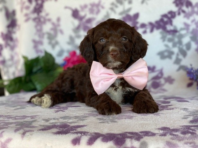Cookie - female Springerdoodle puppie for sale near Peachbottom, Pennsylvania