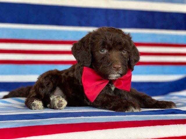Kirby- Springerdoodle doggie for sale in Peachbottom, Pennsylvania
