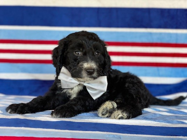 Dasher- Springerdoodle puppy for sale at Peachbottom, Pennsylvania