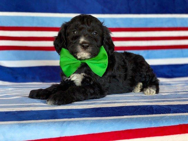 Winston- Springerdoodle puppie for sale at Peachbottom, Pennsylvania