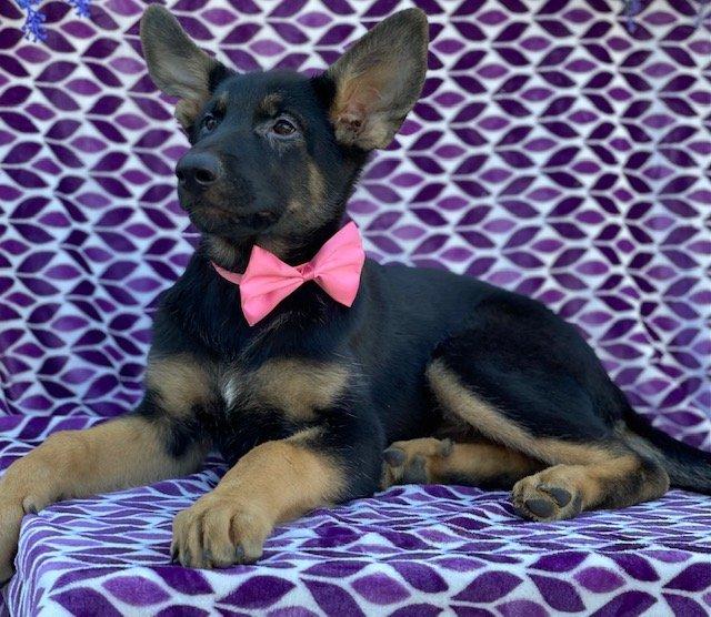 Sheba - German Shepherd puppy for sale at Peachbottom, Pennsylvania