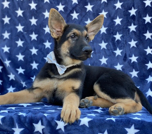 Duke - German Shepherd doggie for sale near Peachbottom, Pennsylvania