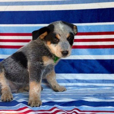 Trooper - Australian cattle dog pupper for sale at Peachbottom, Pennsylvania
