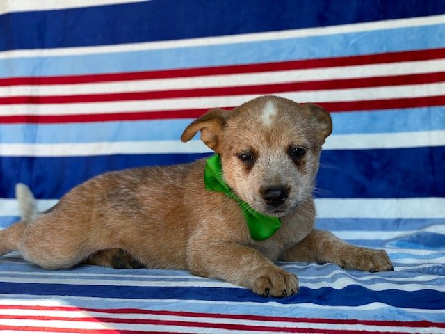 Zip- Australian cattle dog puppie for sale near Peachbottom, Pennsylvania