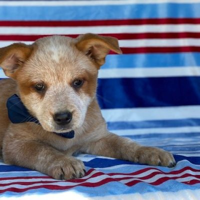 Yuri - Australian cattle dog puppy for sale at Peachbottom, Pennsylvania