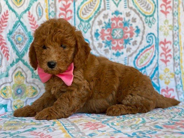 Precious - Mini Goldendoodle puppie for sale near Peachbottom, Pennsylvania