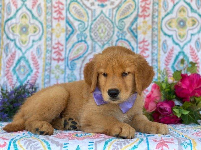 Heidi - Red Golden Retriever puppy for sale at Peachbottom, Pennsylvania