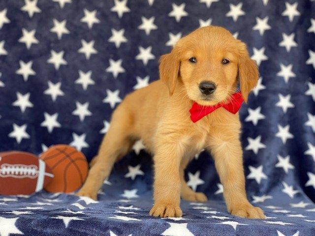 Champ- Red Golden Retriever doggie for sale near Peachbottom, Pennsylvania