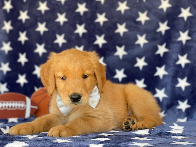 Rambo - Red Golden Retriever puppy for sale in Peachbottom, Pennsylvania