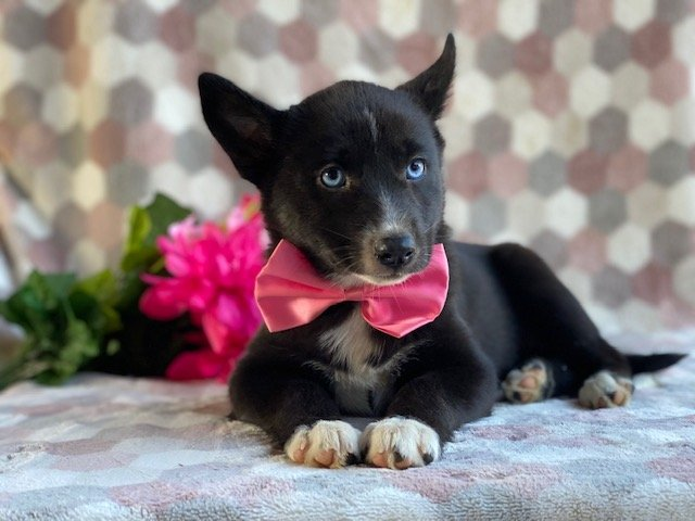Bianca - female Pomsky pup for sale at Kirkwood, Pennsylvania