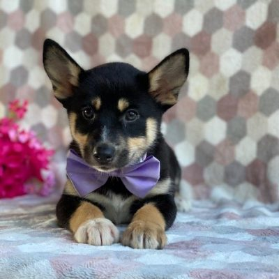 Pearl - female Pomsky pup for sale at Kirkwood, Pennsylvania