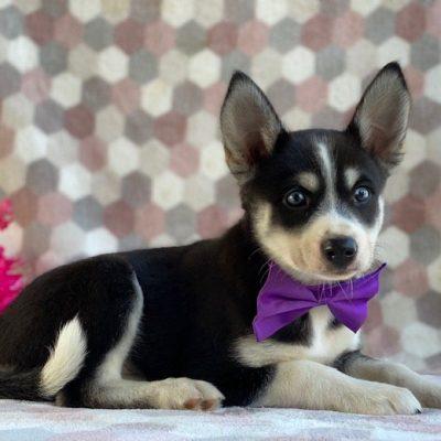 Myra - female Pomsky pup for sale at Kirkwood, Pennsylvania