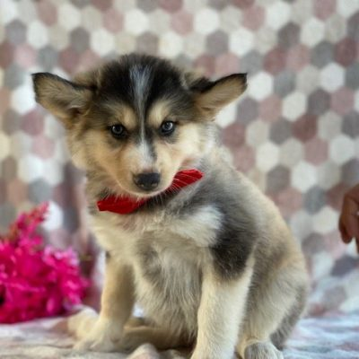 Maggie - female Pomsky pup for sale at Kirkwood, Pennsylvania