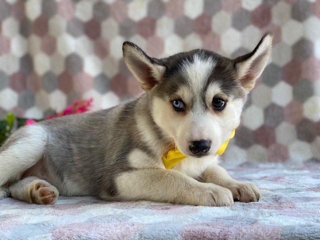 Lexi - female Pomsky pup for sale at Kirkwood, Pennsylvania