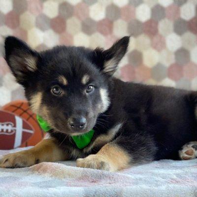 Skor - Male Pomsky pup for sale at Kirkwood, Pennsylvania