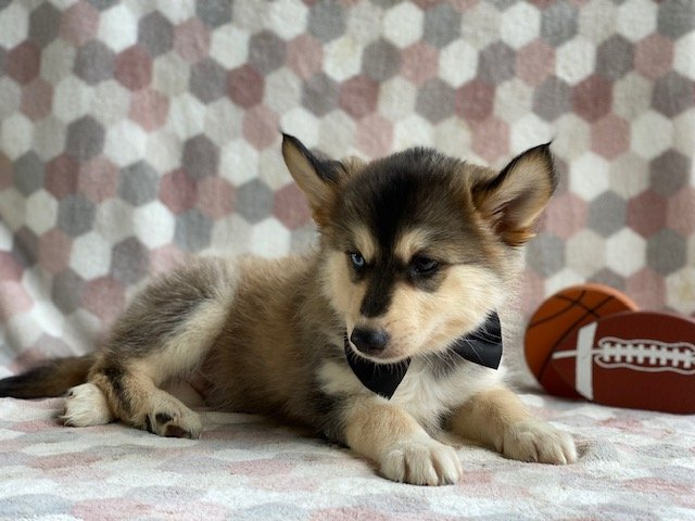 Toby - Male Pomsky pup for sale at Kirkwood, Pennsylvania