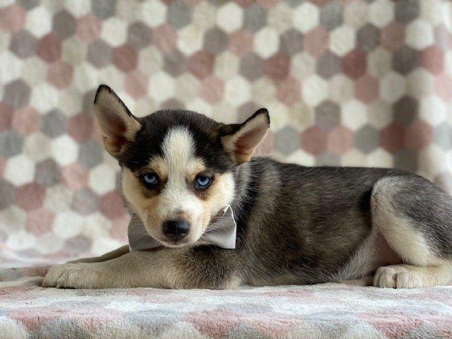 Ian - Male Pomsky pup for sale at Kirkwood, Pennsylvania