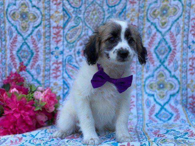 Blossom - Eskapoo pup for sale near Kirkwood, Pennsylvania