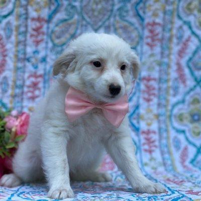 Sky - Eskapoo puppie for sale at Kirkwood, Pennsylvania