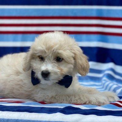 Bear - Eskapoo puppy for sale in Kirkwood, Pennsylvania