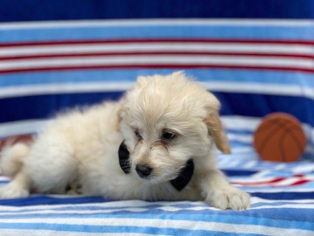 Arctic - Eskapoo puppie for sale in Kirkwood, Pennsylvania