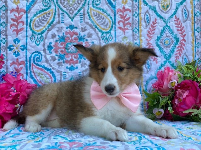 Shelly - Shelti puppie for sale at Kirkwood, Pennsylvania
