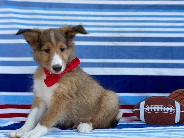 Cocoa - doggie Shelti for sale near Kirkwood, Pennsylvania