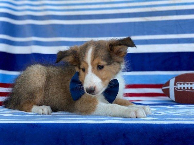 Everett - Shelti puppy for sale in Kirkwood, Pennsylvania