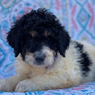 Lana - Bernedoodle female pup for sale in Christiana, Pennsylvania
