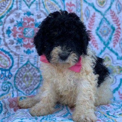 Mia - Bernedoodle female pupper for sale at Christiana, Pennsylvania