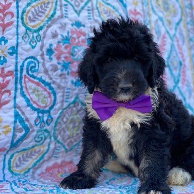 Leila - Bernedoodle female puppie for sale near Christiana, Pennsylvania