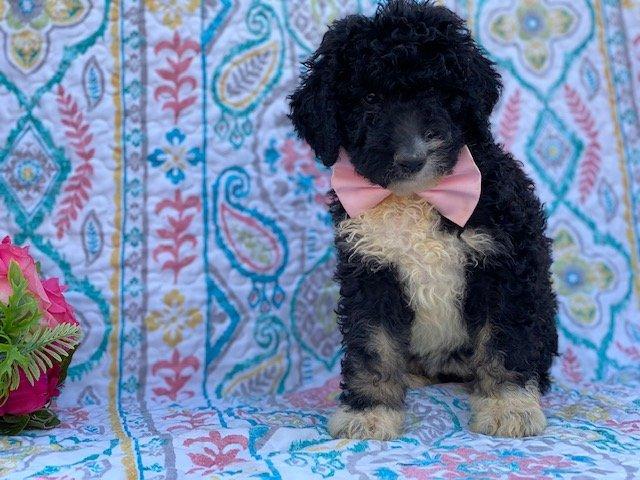 Lola - Bernedoodle female doggie for sale in Christiana, Pennsylvania