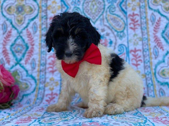 Skylar - Bernedoodle puppy for sale at Christiana, Pennsylvania