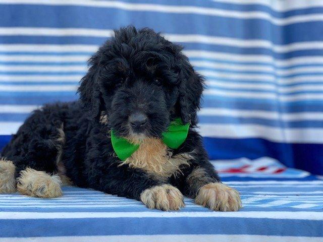Otis - Bernedoodle pupper for sale in Christiana, Pennsylvania