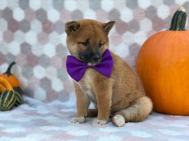 Jasmine - ACA Shiba Inu puppie for sale at Pequea, Pennsylvania