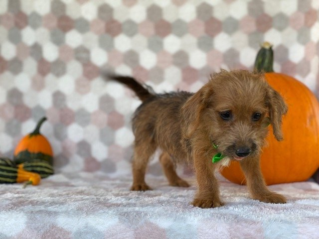 Rudy - Jackapoo puppy for sale at Delta, Pennsylvania