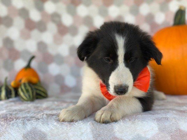 Murray - Border Collie pup for sale near Delta, Pennsylvania