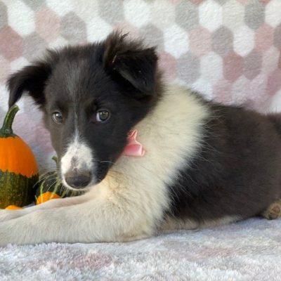 Clara - female Border Collie doggie for sale near Delta, Pennsylvania