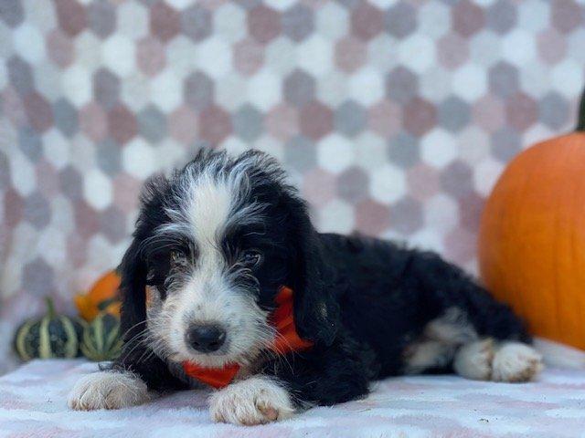 Nolan - Poodle Mix doggie for sale near Delta, Pennsylvania