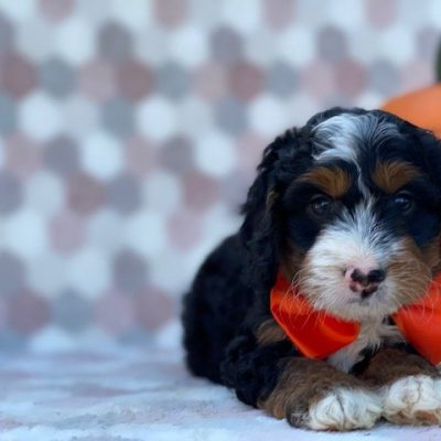 Enzo - Mini Bernedoodle pupper for sale at Delta, Pennsylvania