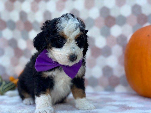 Cutie - Mini Bernedoodle puppie for sale near Delta, Pennsylvania