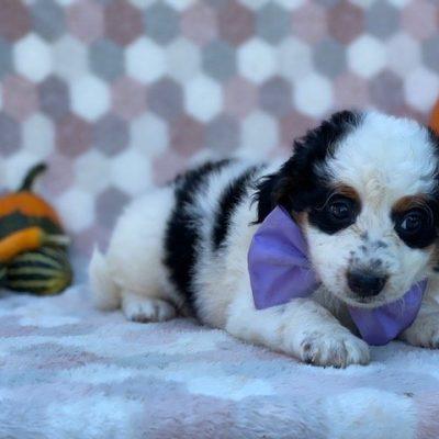 Bree- doggie Mini Bernedoodle for sale in Delta, Pennsylvania
