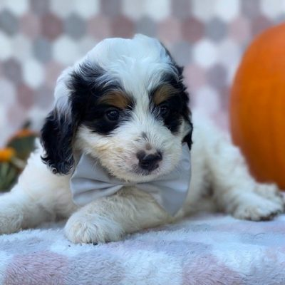 Ozzy - Mini Bernedoodle pupper for sale in Delta, Pennsylvania