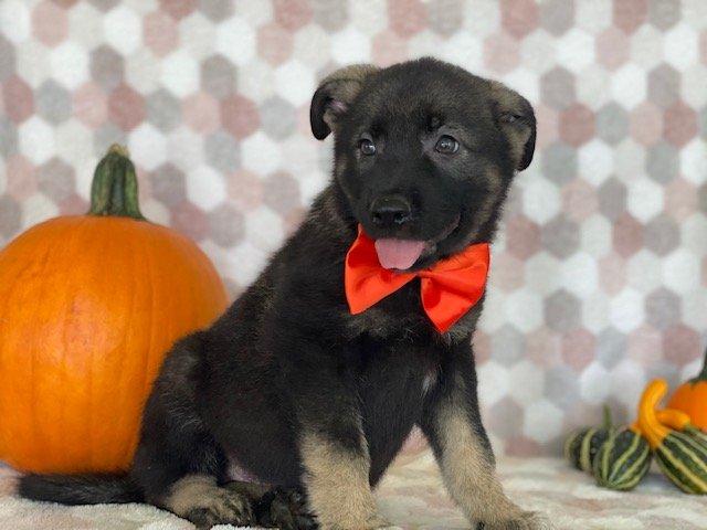 Barnaby - German Shepherd/Elkhound mix doggie for sale near Paradise, Pennsylvania