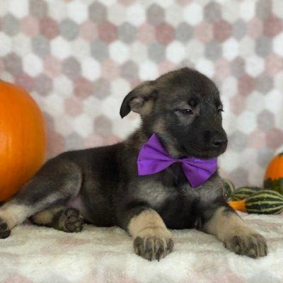 Riley - pupper German Shepherd/Elkhound mix for sale at Paradise, Pennsylvania